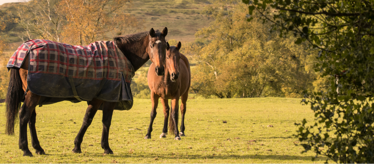 A horse with a rug on standing in a field with two horses standing behind it