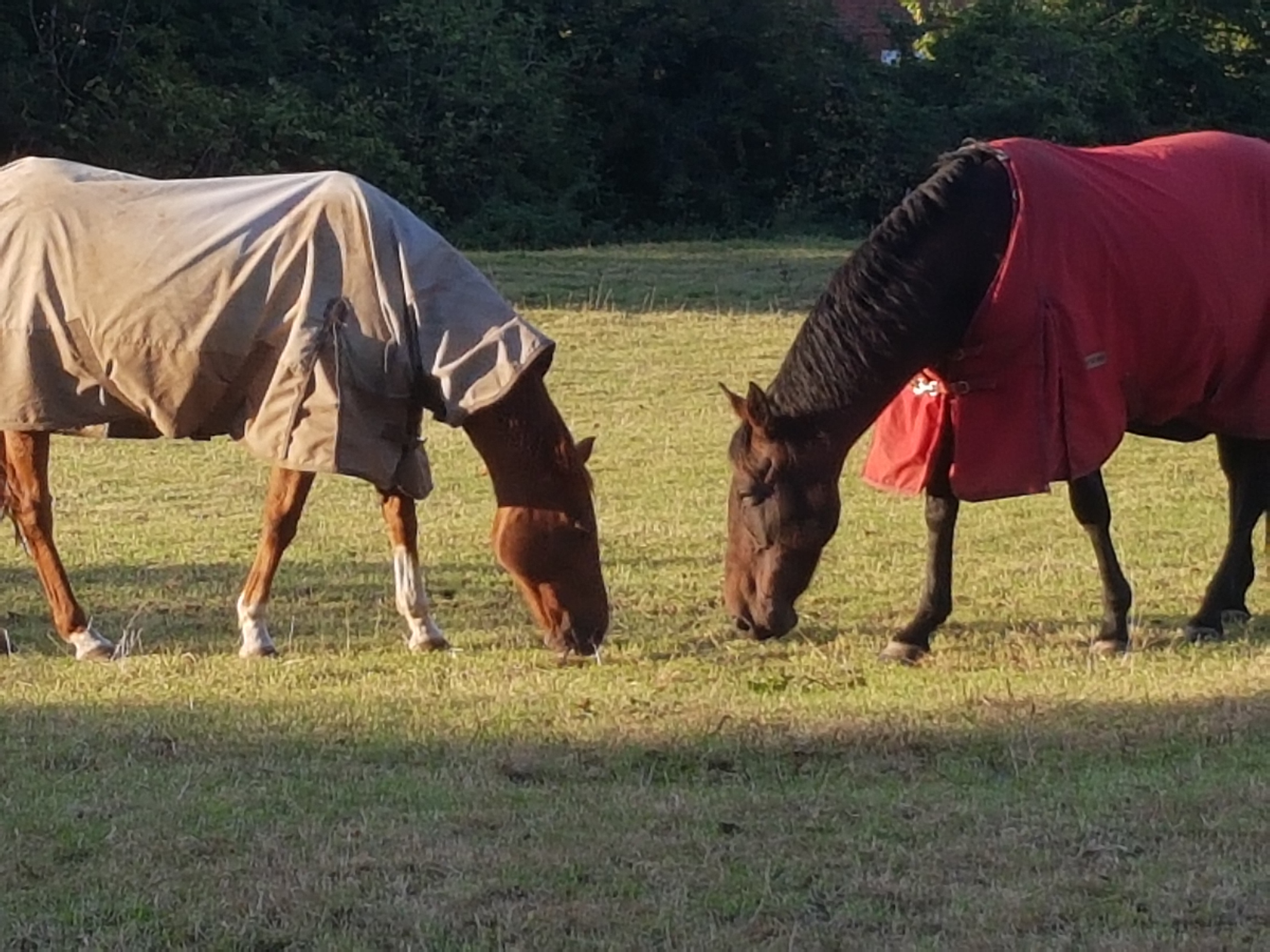 Two horses in coats grassing at sunset