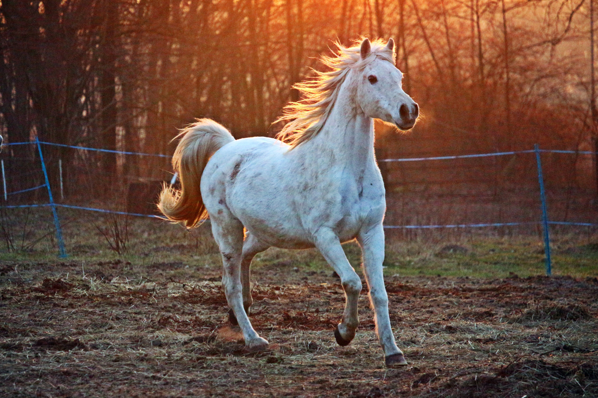 An Arabian horse running across a field at sunset