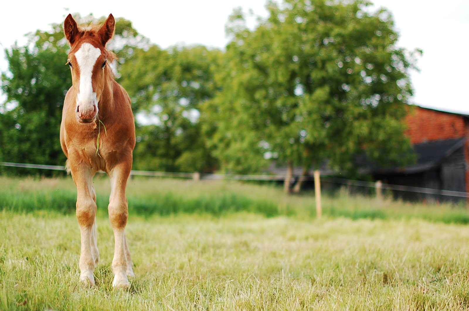 A foal standing in a field eating grass
