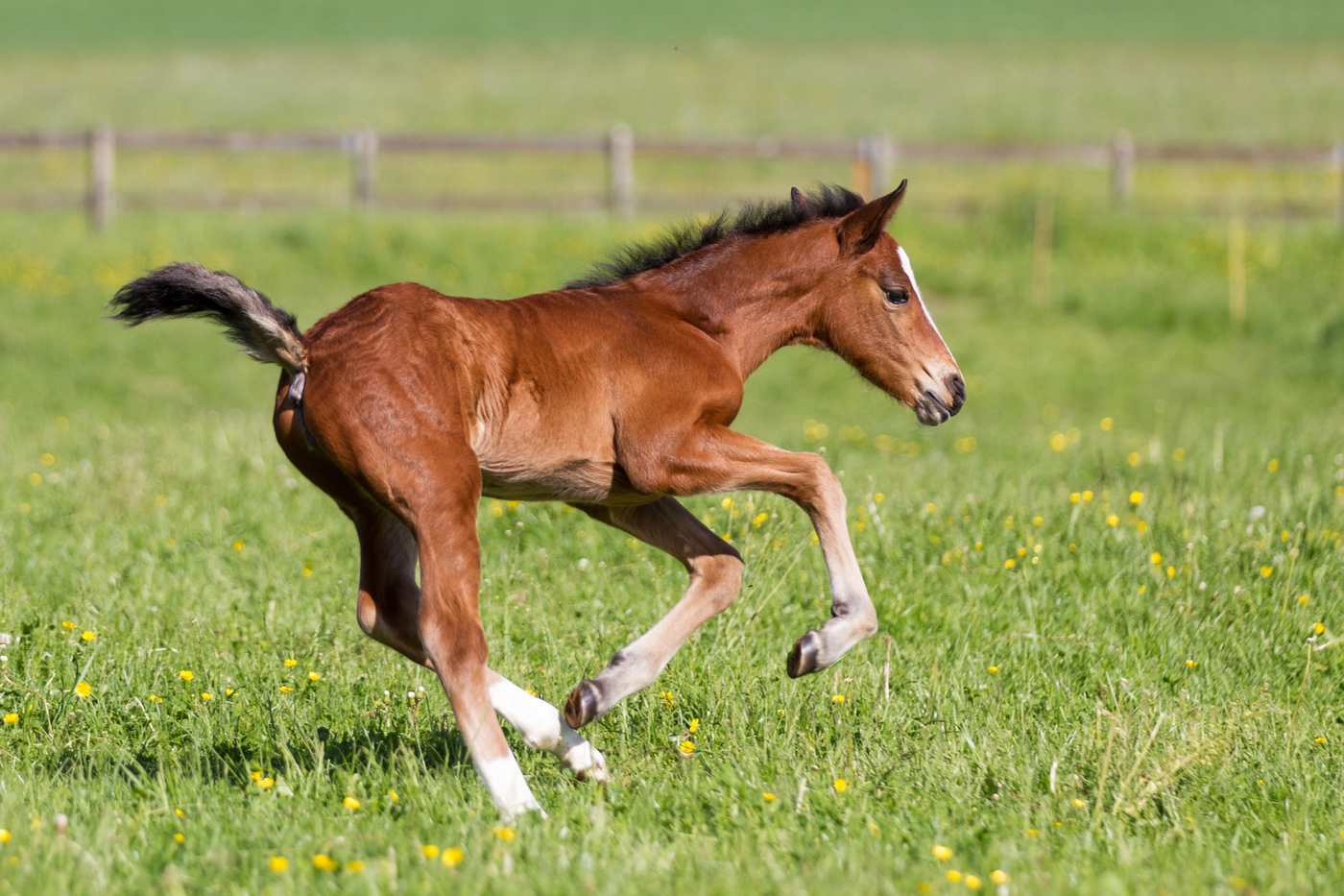 A foal playing in a yellow flowered field