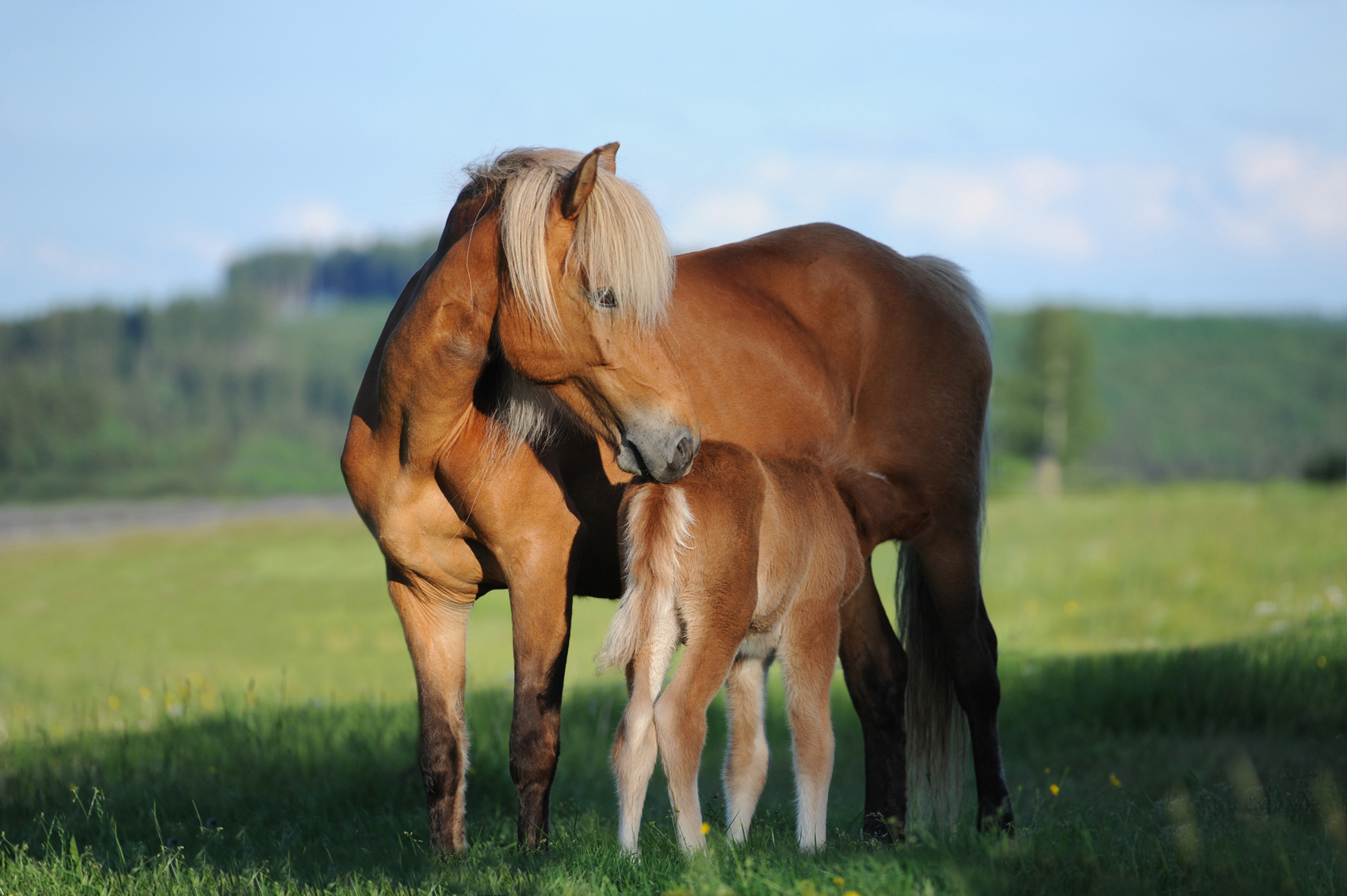 A mare and her foal standing in a field grazing on a sunny day