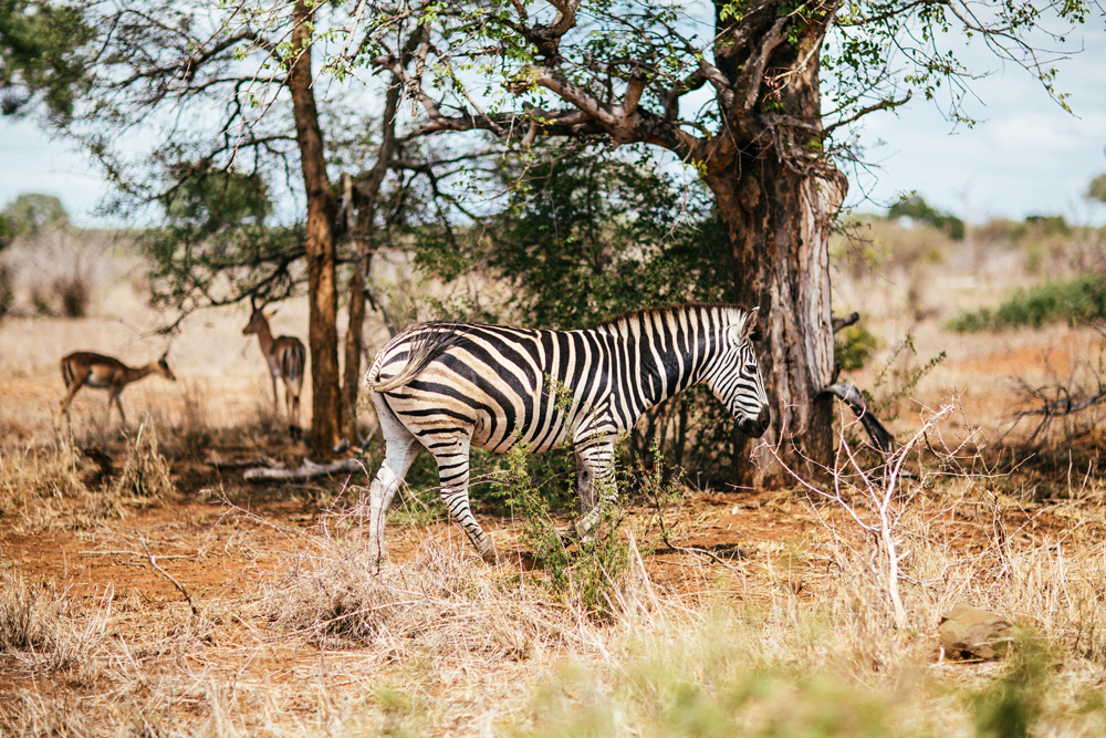 A Zebra walks past a tree in the Savannah of South Africa