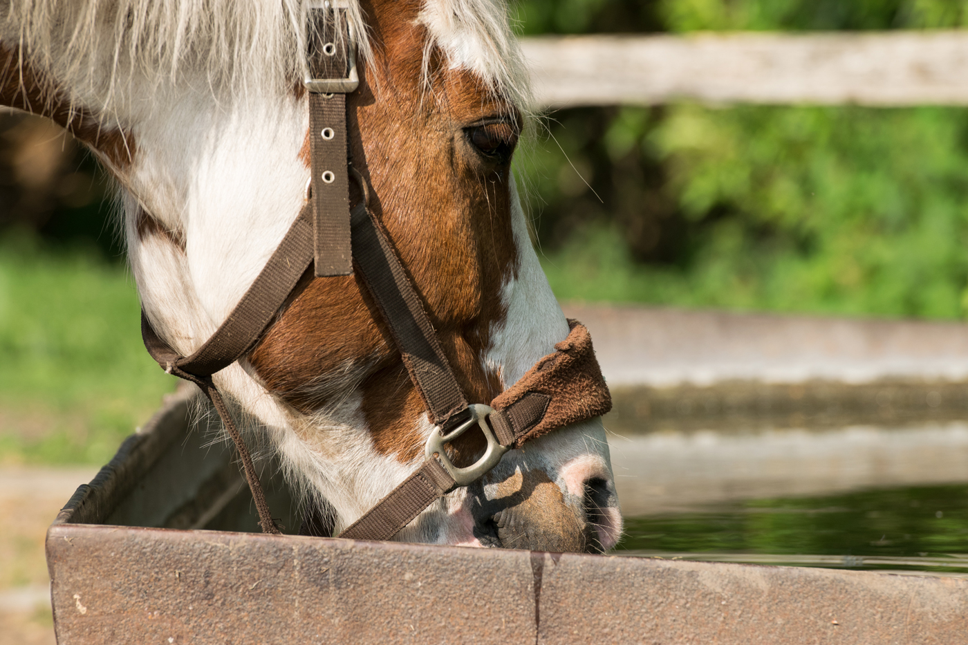 A horse drinking from a trough