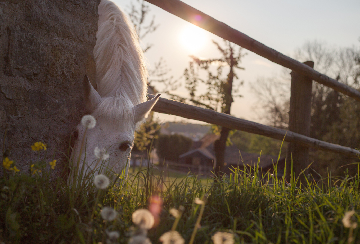 A horse leaning its neck around a wall and between a fence to graze some grass