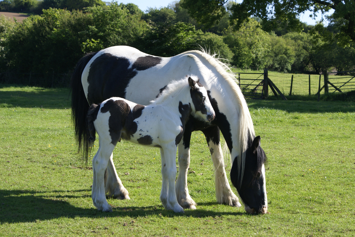 A mare and foal cob grazing in a field