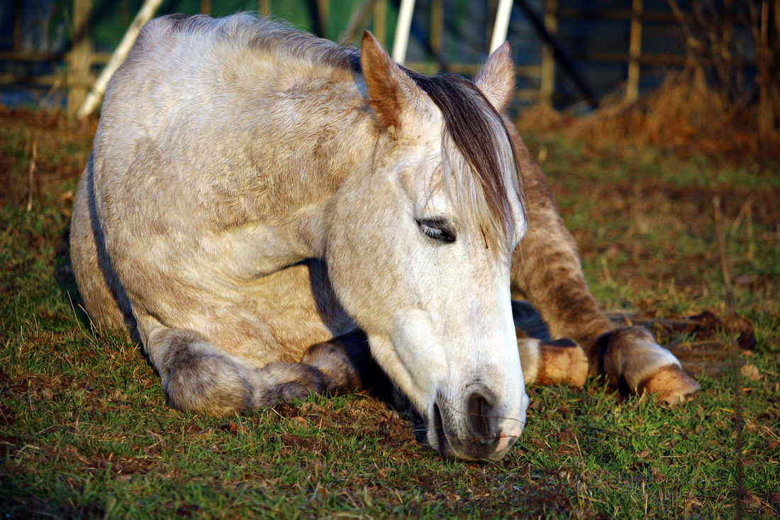 A horse laying down in a field looking ill