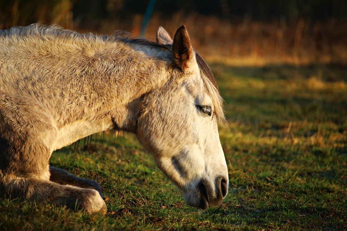 A sad looking horse knelt down in a field