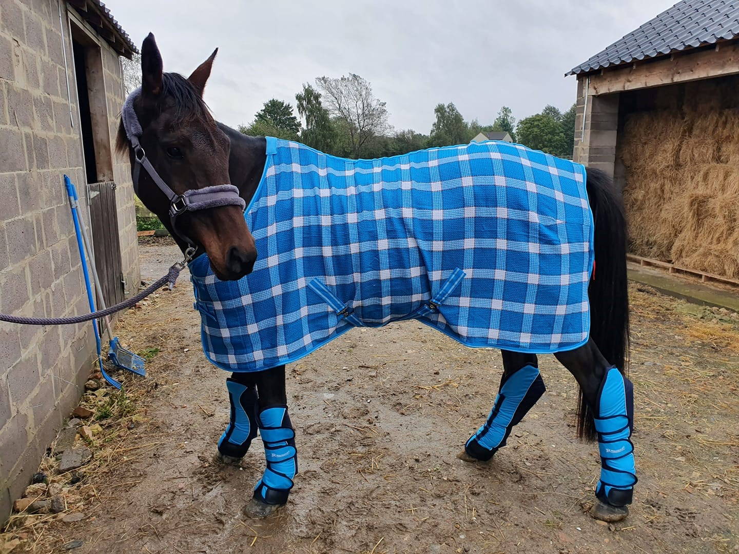 A horse with a blue patterned rug on outside its stables