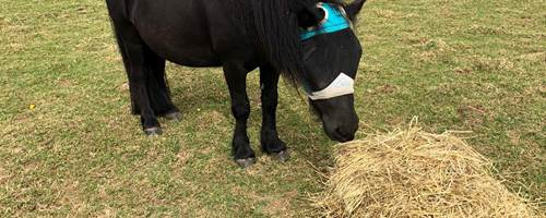 The Not-So-Secret Diary of Diva The Shetland Pony - Hot Days and Tooth Fairies
