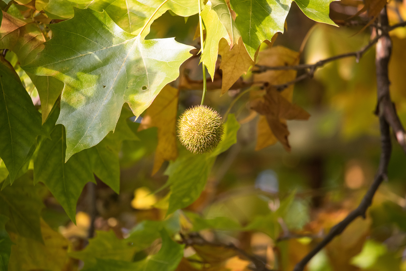 The fruit from a sycamore tree hanging amongst its leaves