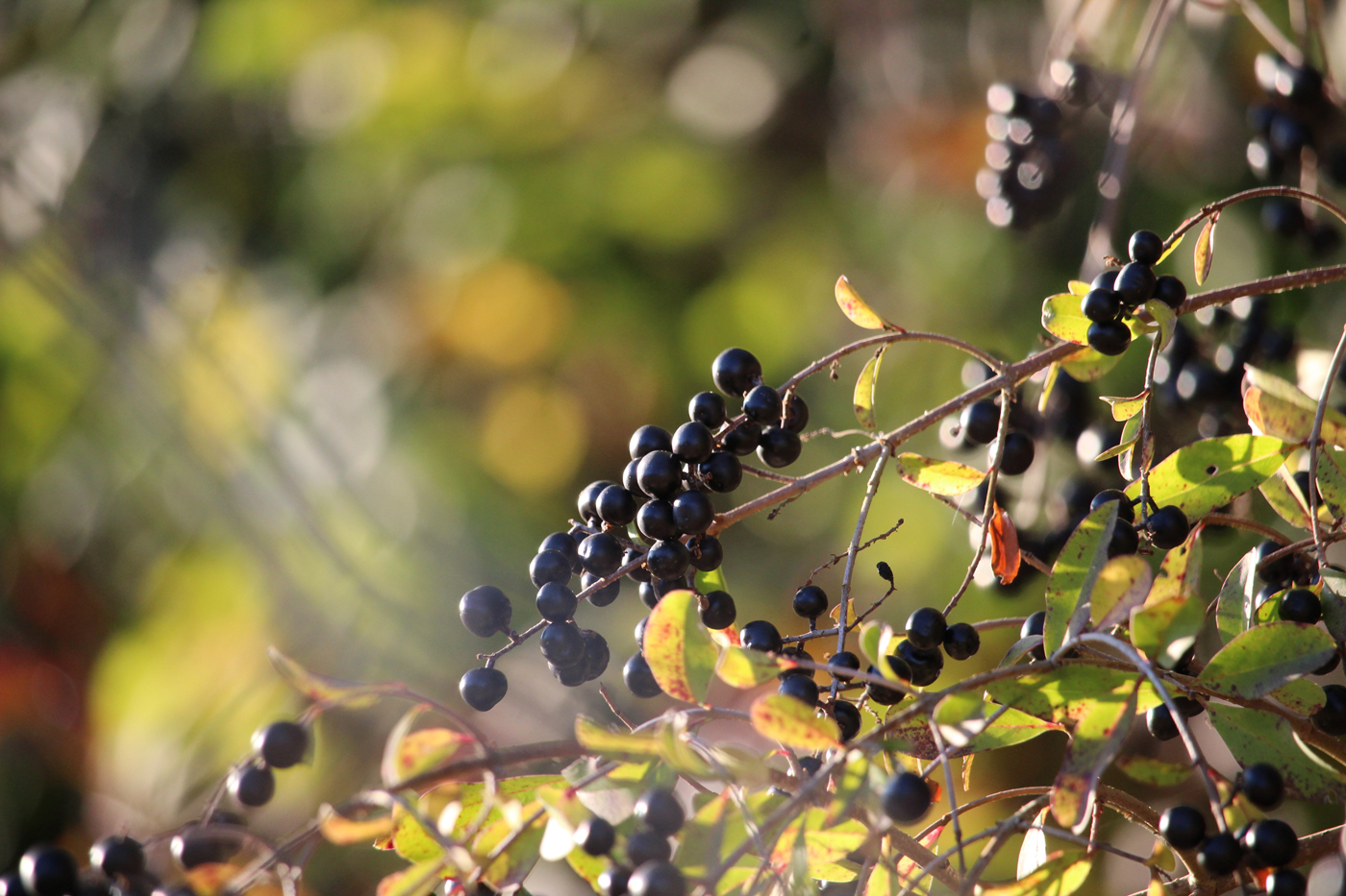 Small black Privet berries dangling in a tree on a sunny day