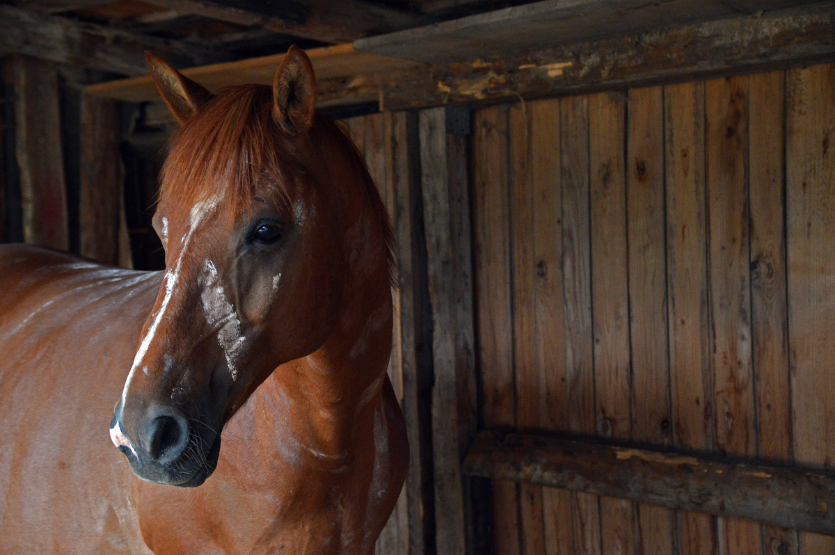 A horse sheltering in a wooden stable area