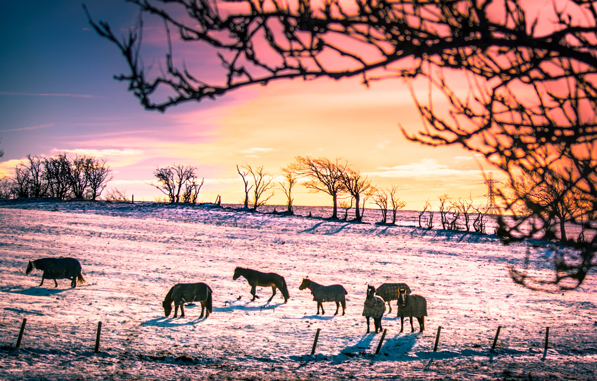 A heard of horses grazing in a frosty field at sunset