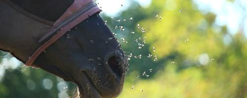Does your horse need a fly mask?